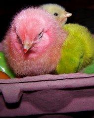 chicks_Easter